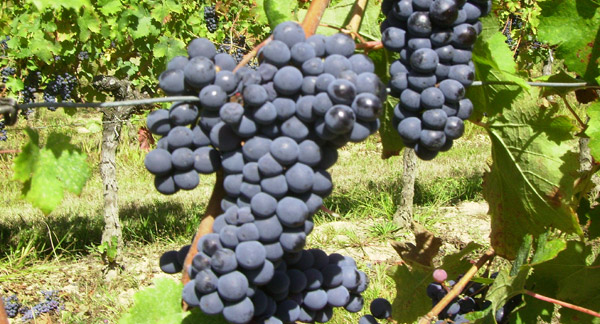 Cabernet Franc fruit in Hourcat Sud