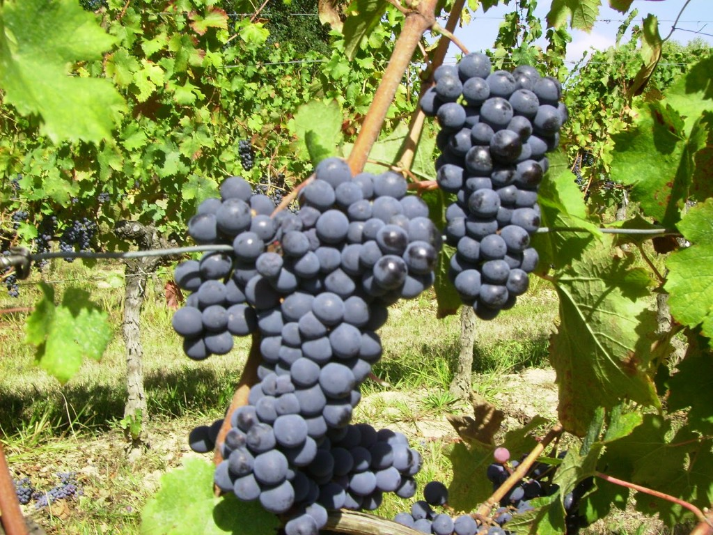 Beautiful ripe Cabernet Franc awaiting harvest at Paradise Rescued
