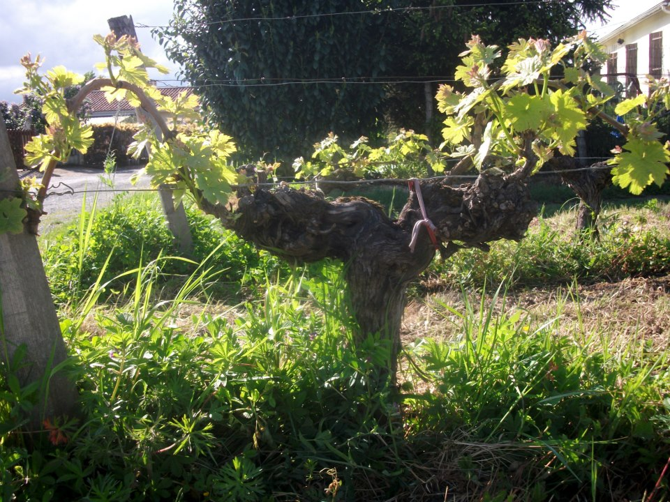 A 56yo Merlot vine starts the new season with vigour