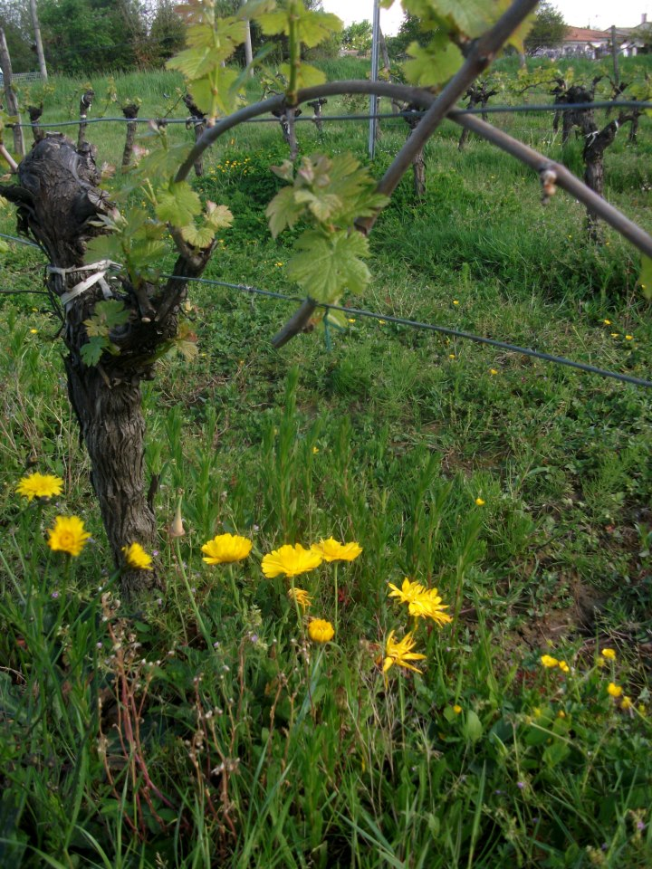 Wild flowers grow under the organic vine rows