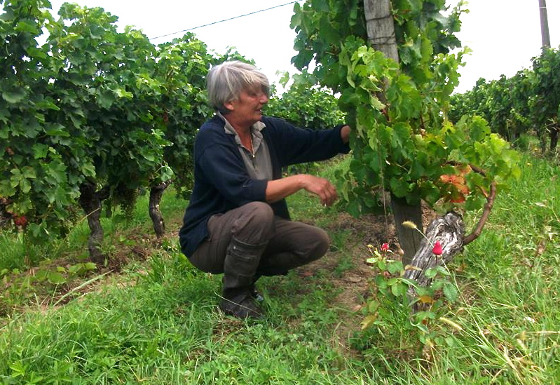 "Pascale inspects the ""Old Vine"" Merlots"