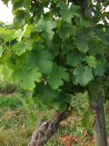 The health and vogour of the Cloud9 CabFranc vines is clearly evident.