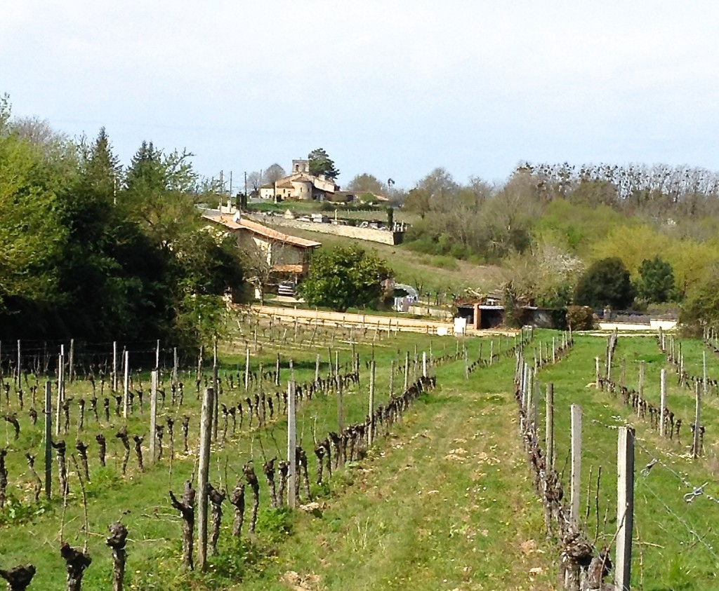 The plan is to extend the CabFranc block further down the slope, replacing  part of the unused section of table grapes.