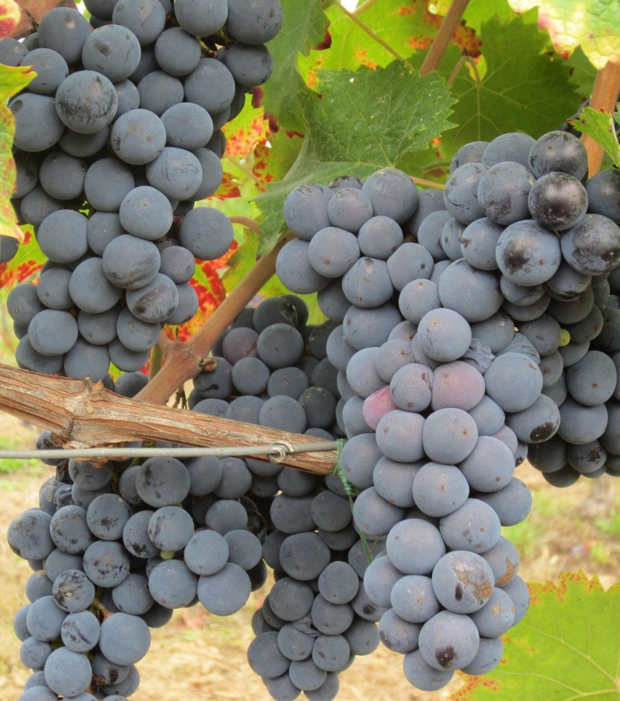 Beautiful Cabernet Franc fruit - almost ready for picking.