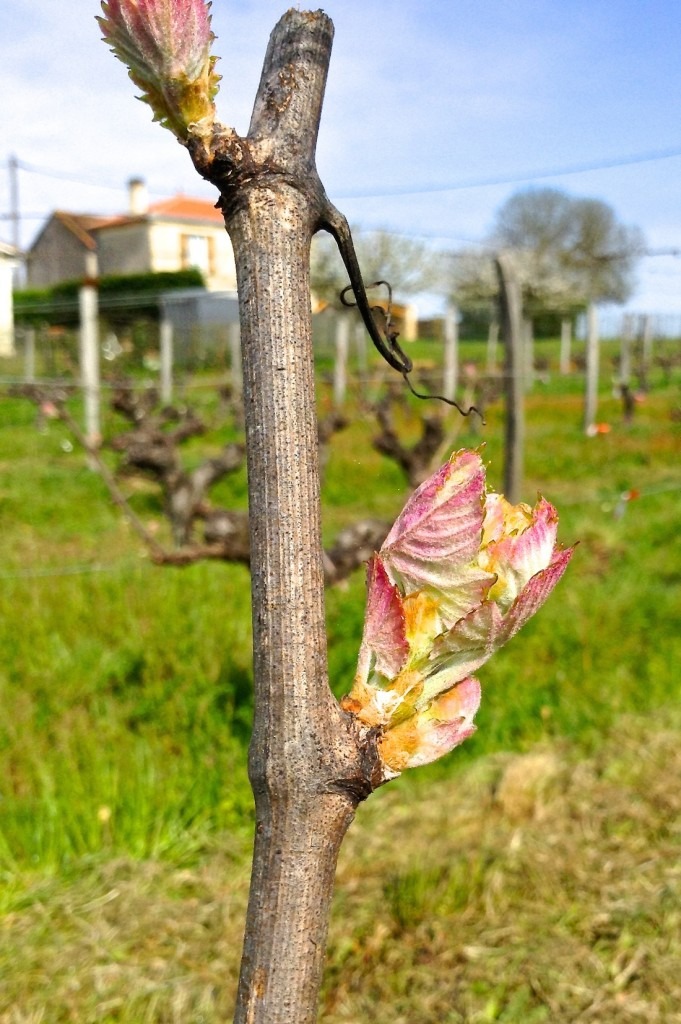 Budburst from one of our 55yo Merlot vines