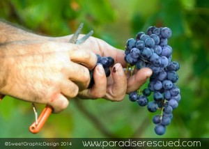 Every Merlot bunch was reviewed and only the best grapes passed.