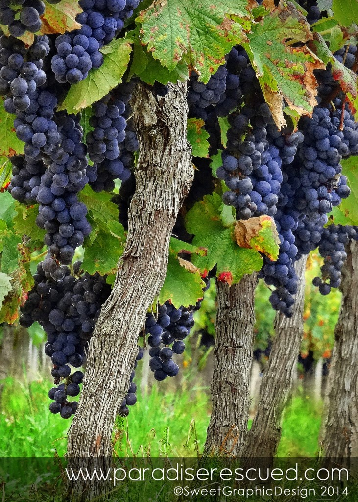 Ripe Cabernet Franc ready for harvest at Paradise Rescued in Bordeaux