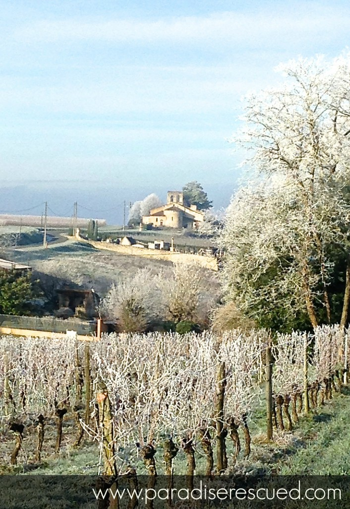 Winter Paradise – a frosty start in the Cabernet Franc vines
