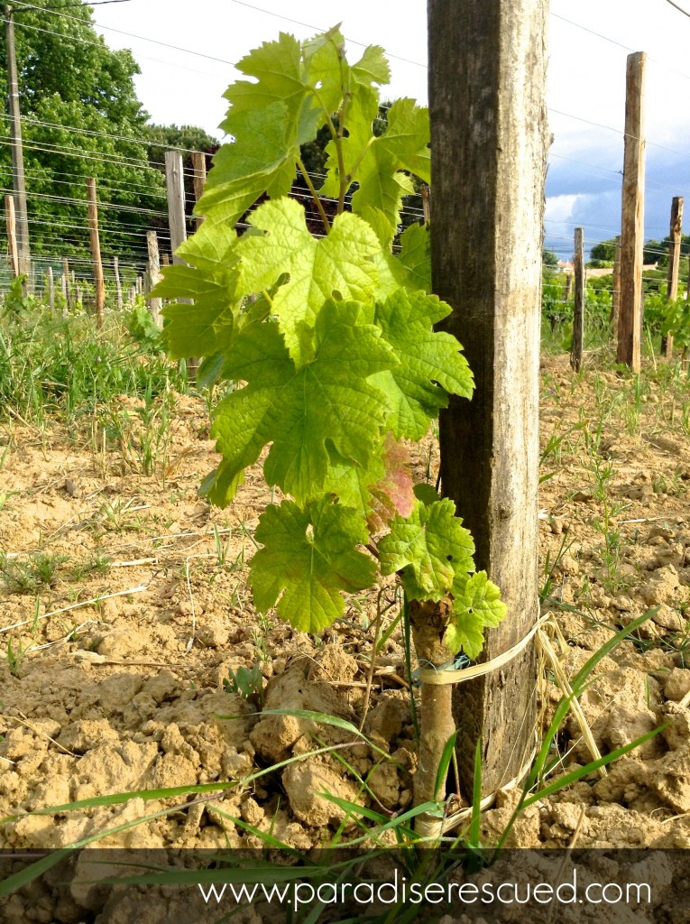 A baby Merlot vine approaching his first birthday on the new Merlot section.
