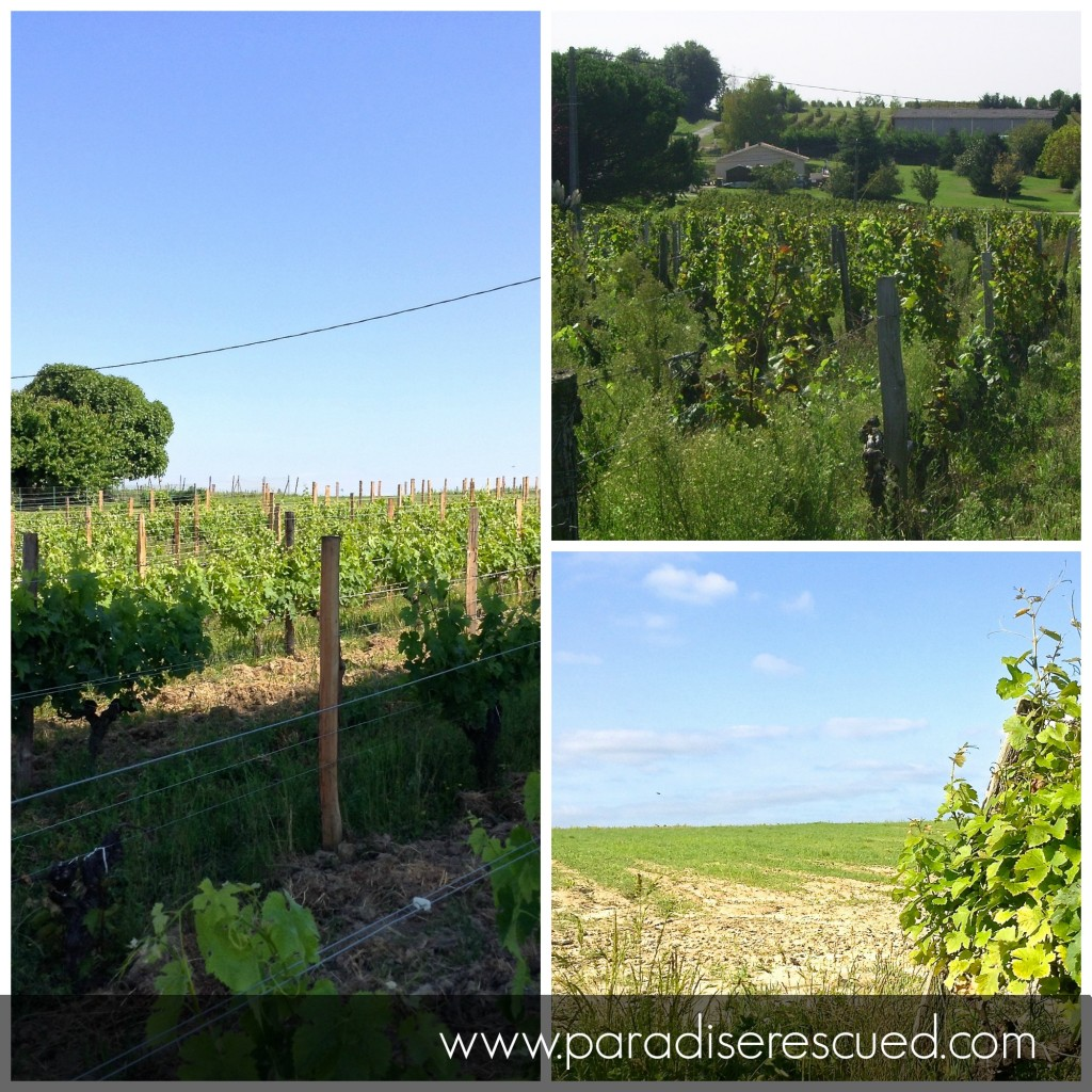 From sad chaos to a new vineyard. Paradise Rescued Merlot block.