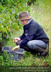 Magician and miracle maker. Vigneronne Pascale Bervas harvesting the Old Vine Block Merlot.
