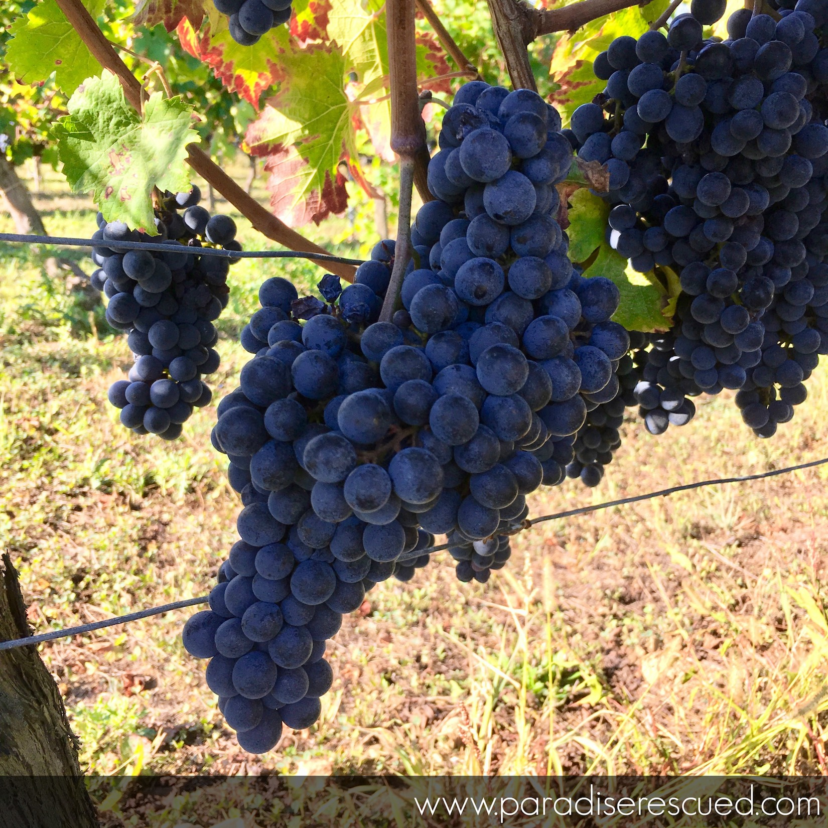 Paradise Rescued Cabernet Franc fruit
