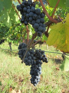 The first Merlot fruit in Hourcat Centre, prior to harvest 2012