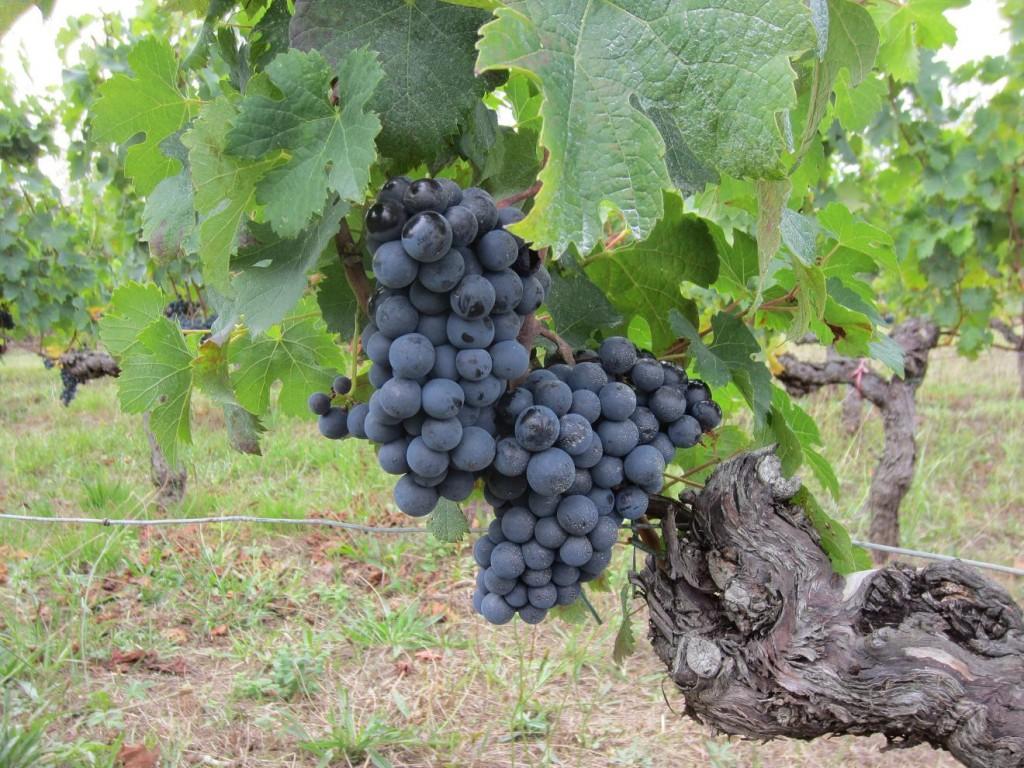 Bunch of Merlot grapes awaiting harvest in Hourcat Centre - September 2012