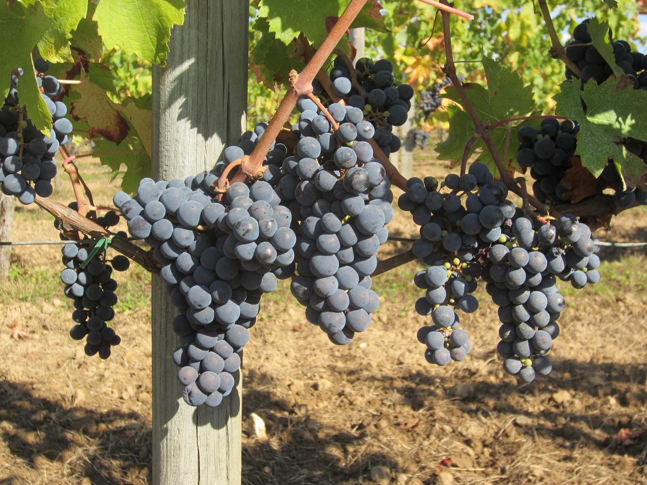 Cloud9 CabFranc grapes in Hourcat Sud, a few days before harvest 2012