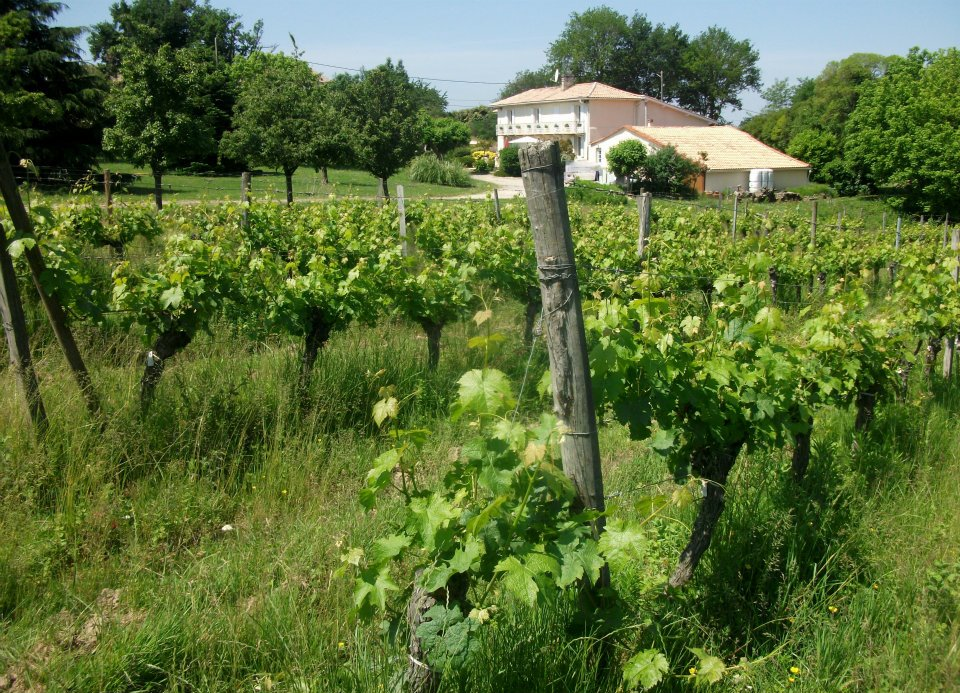 The Cabernet Franc vines in Hourcat Sud looking towards Foucaud