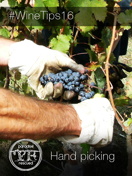 Hand picking Cloud9 CabFranc grapes in Hourcat Sud Cardan