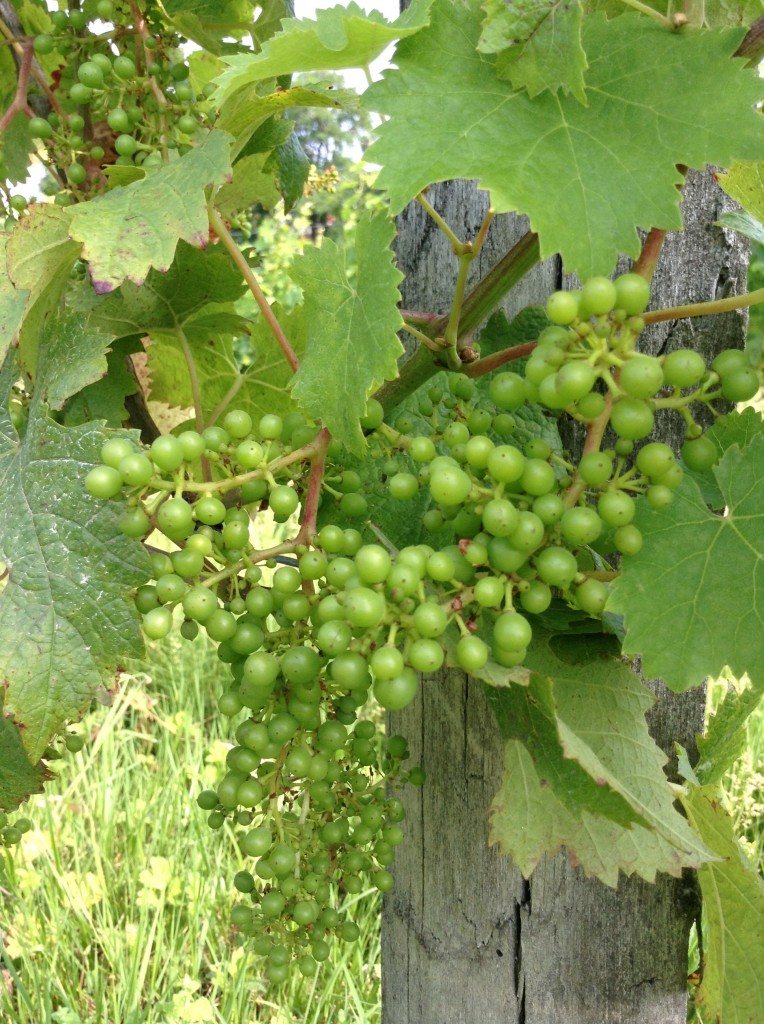 A bunch of young green CabFranc grape berries in the Hourcat Sud vineyard