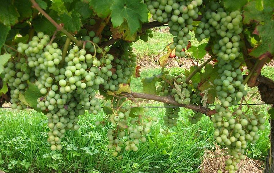 An abundance of clean healthy Cabernet Franc fruit in the Hourcat Sud vineyard for Cloud9.