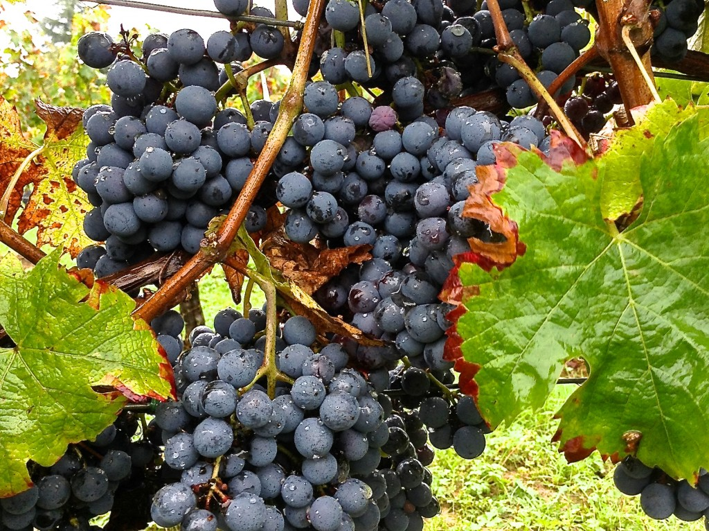 Cabernet Franc fruit in Hourcat Sud Cardan just after a rain shower