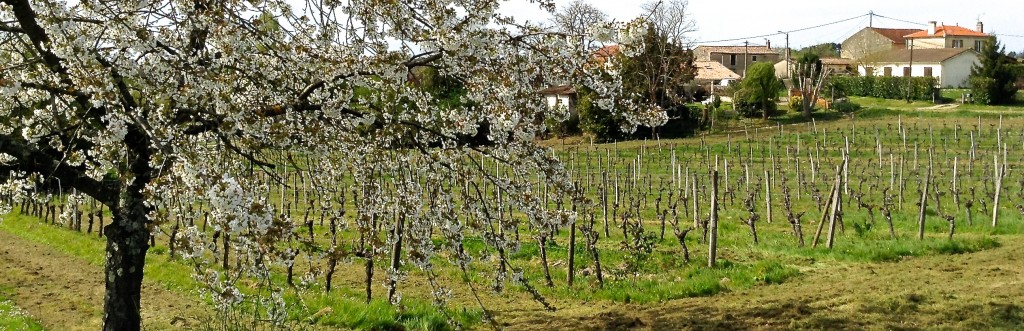 Spring arrives in Hourcat Sud - our Cabernet Franc block in Cardan Bordeaux... as viewed from Cherry Tree Corner.