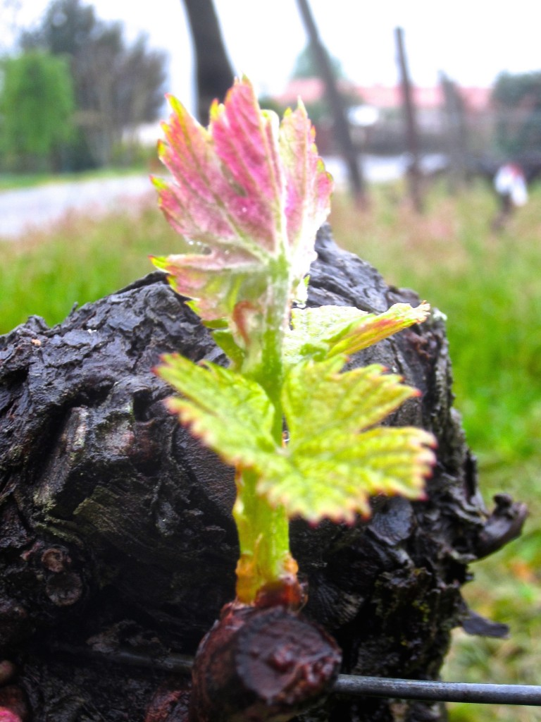 Bud burst from the trunk of an old Merlot vine