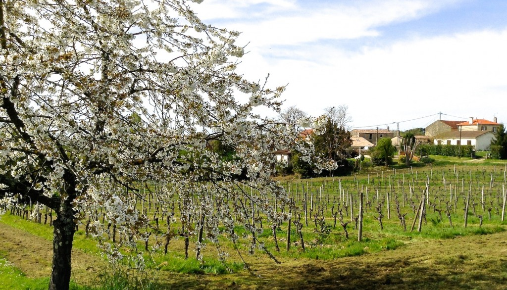 The early spring view across Hourcat Sud Cabernet Franc block from Cherry Tree corner