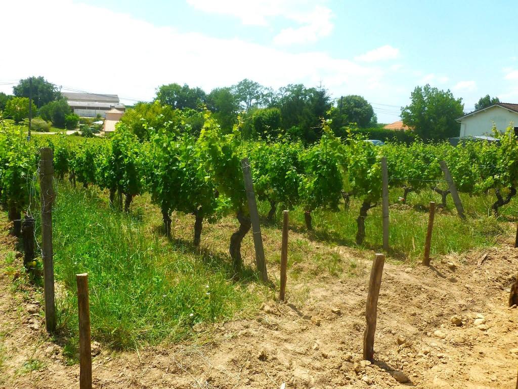 """Old Vine Block"" Merlot showing amazing vigour in 2014."