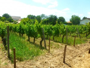 """""""Old Vine Block"""" Merlot - now a picture of vigour and health"""