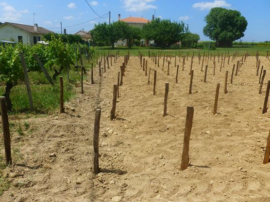 Where Old Merlot meets New - Hourcat Centre has been replanted.