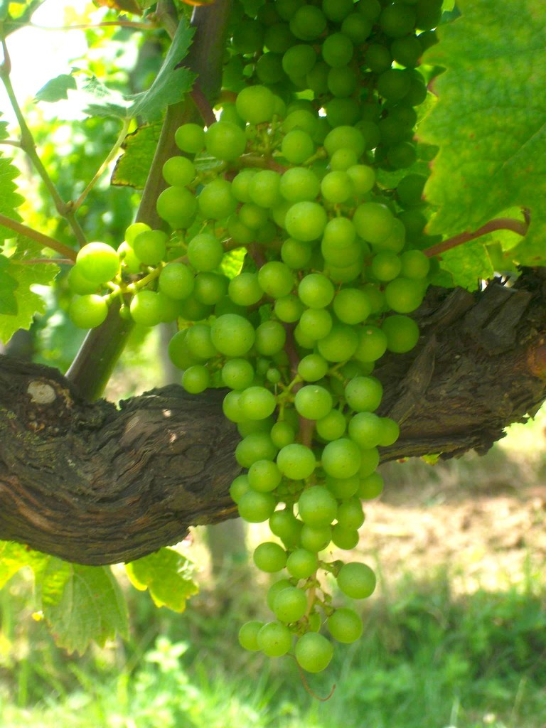 Beautiful young fruit now showing on the Cabernet Franc vines