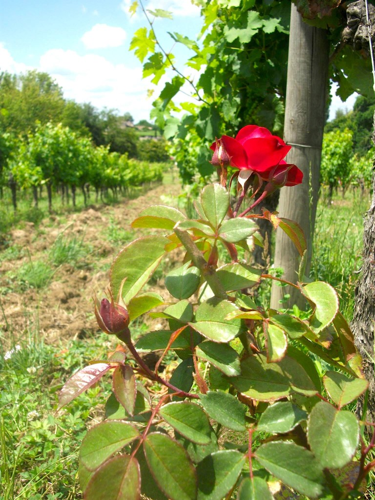 A healthy rose is a sign of a healthy vineyard!