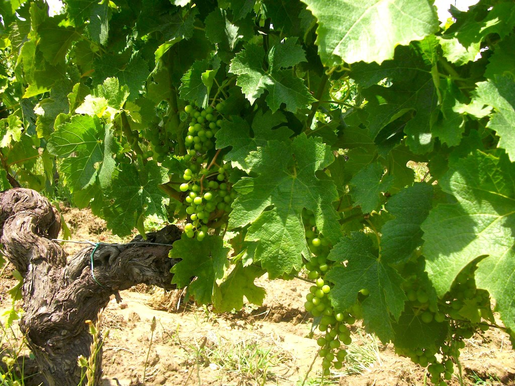A picture of vigour! 55+year old Merlot vine in Hourcat Centre