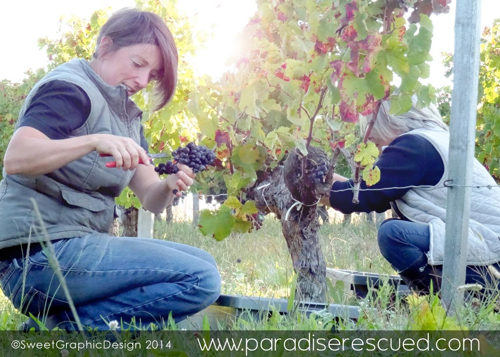 Albane and Pascale leading the Merlot harvest in the Old Vine Block, Cardan
