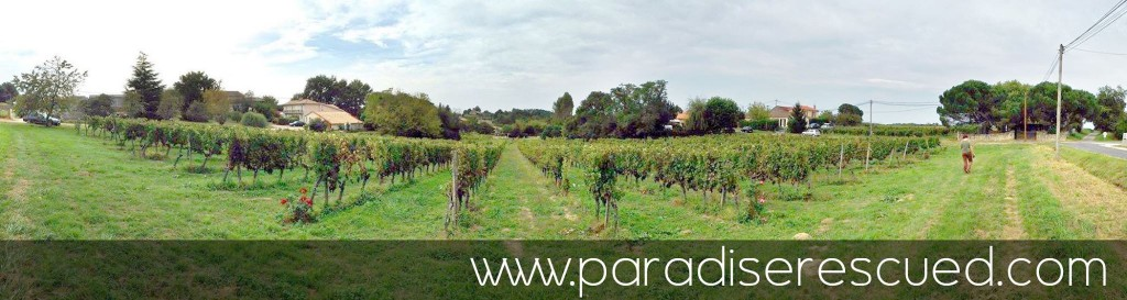 Panorama view across Hourcat Sud - the home of our beautiful Paradise Rescued Cabernet Franc