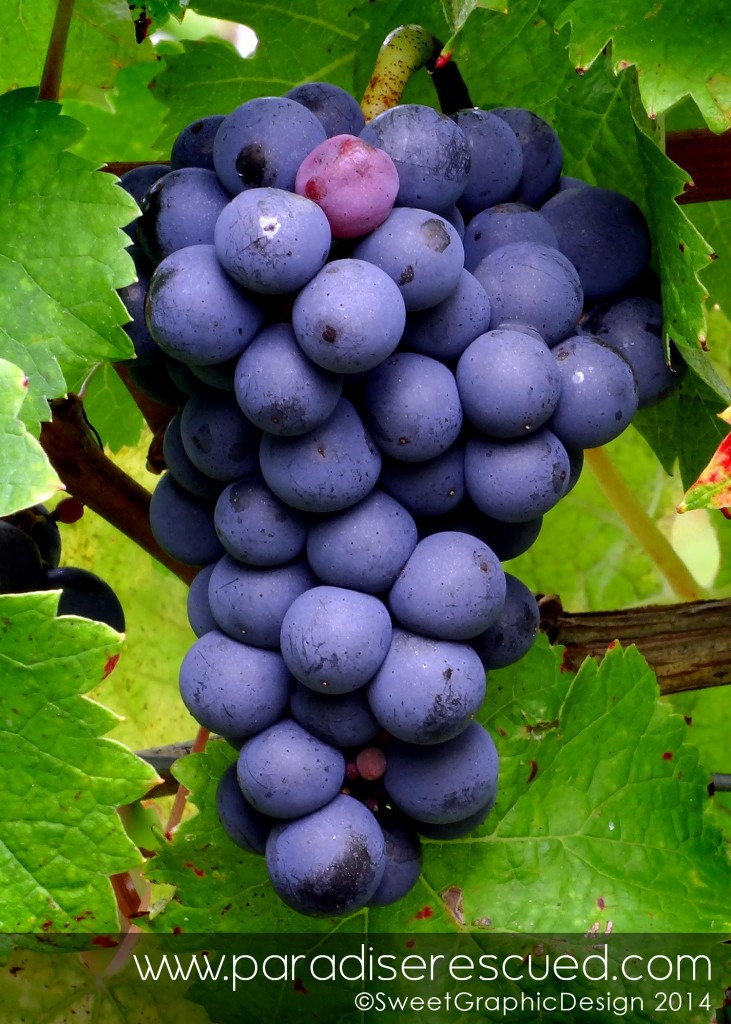 Beautiful Cabernet Franc  from the Hourcat Sud block.