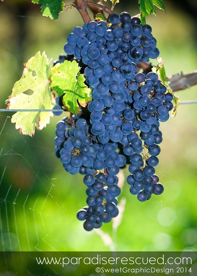 Amazing Cabernet Franc fruit in the Hourcat Sud vineyard of Paradise Rescued in Cardan Bordeaux France.