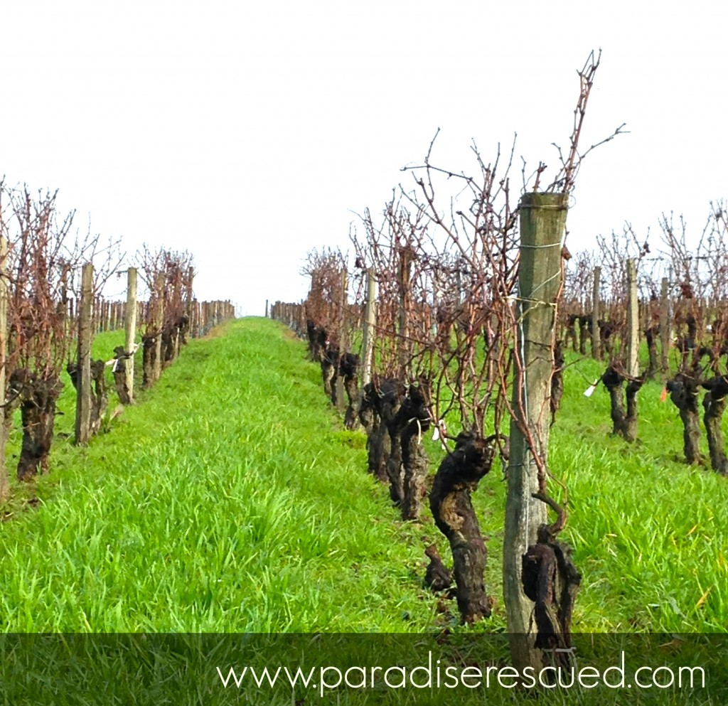 Even in mid winter the growoing health of the old / new Merlot block is evident.