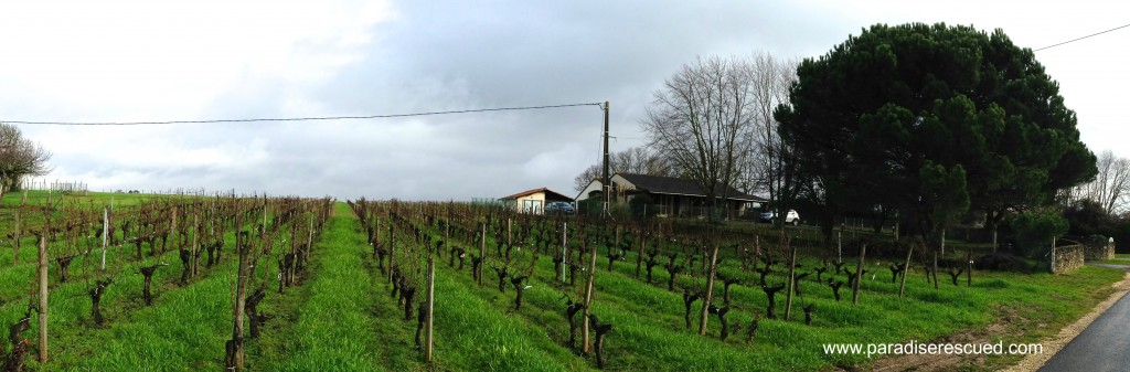 North looking view of the Paradise Rescued Merlot block with the newly planted section to the back