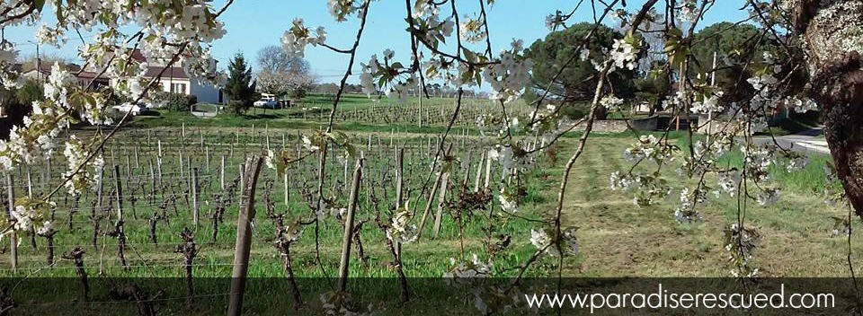Spring over our Hourcat Sud Cabernet Franc vineyard at Cardan Bordeaux