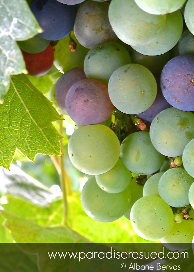 Véraison has now started in our vineyards
