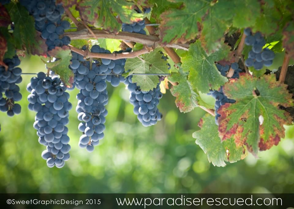 The Bordeaux Cabernet Franc fruit was also beautiful - again!