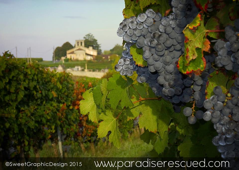 The Paradise Rescued #B1ockOne Cabernet Franc vineyard overlooked by the old Cardan church.