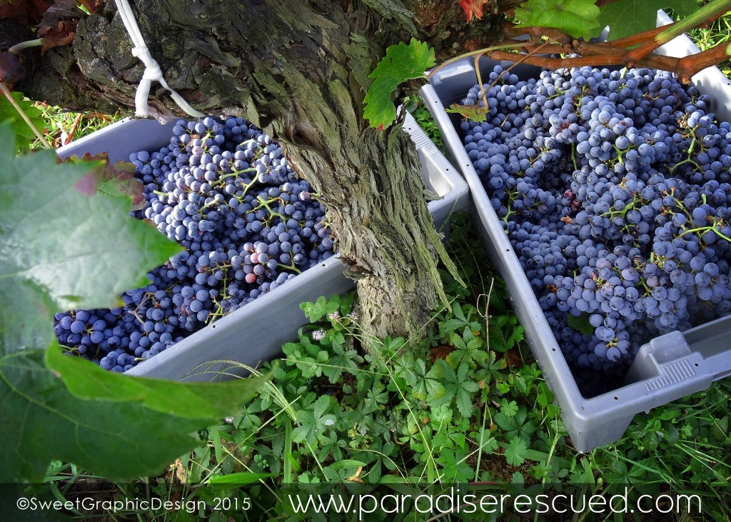 Two full boxes of Cabernet Franc grapes from the Paradise Rescued Hourcat Sud block in Cardan Bordeaux