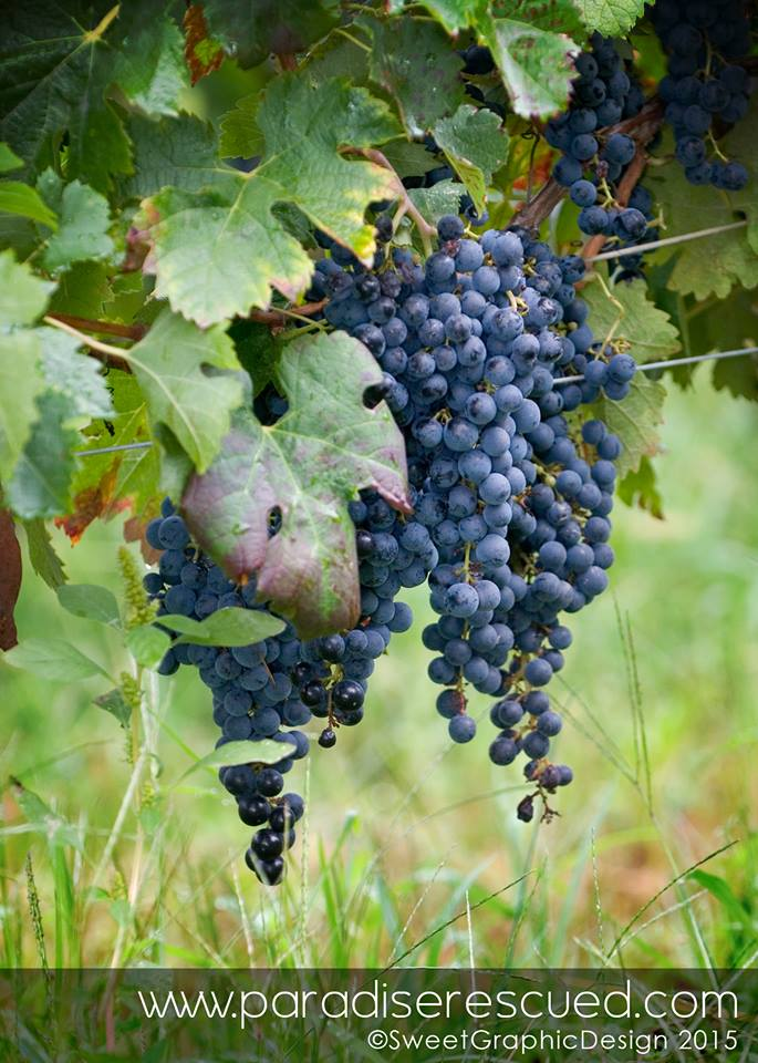 The Merlot harvest was stunning in 2015. Time to go to the next level!