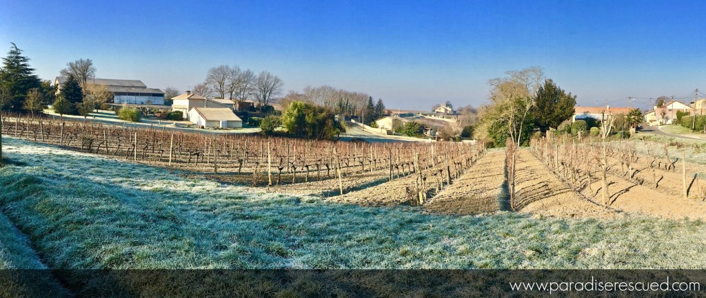 Winter morning view across the Paradise Rescued Cabernet Franc vineyard - the home of B1ockOne