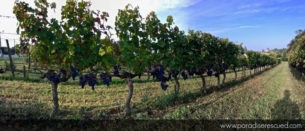 The Cabernet Franc fruit hangs ready to be harvested at Paradise Rescued.