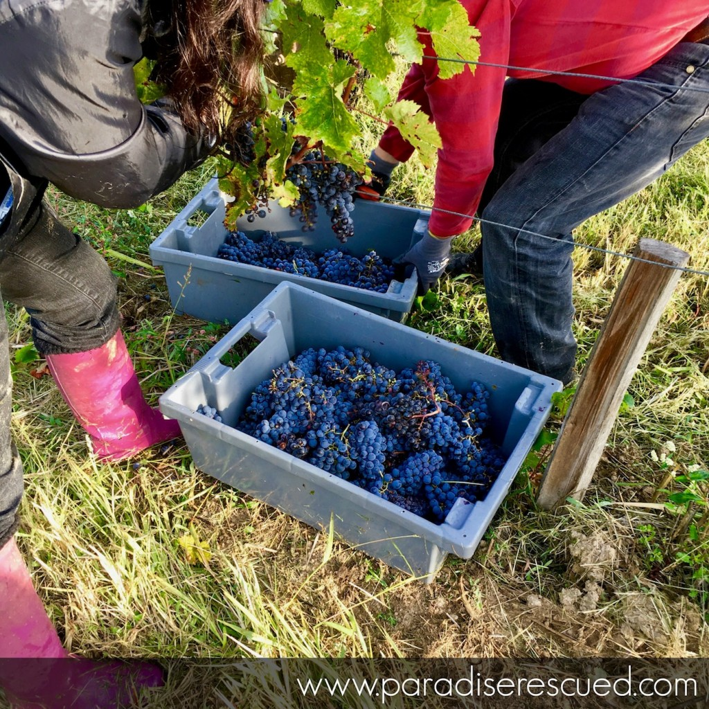 Harvest time at Paradise Rescued Hand cutting and selected the best Cabernet Franc fruit