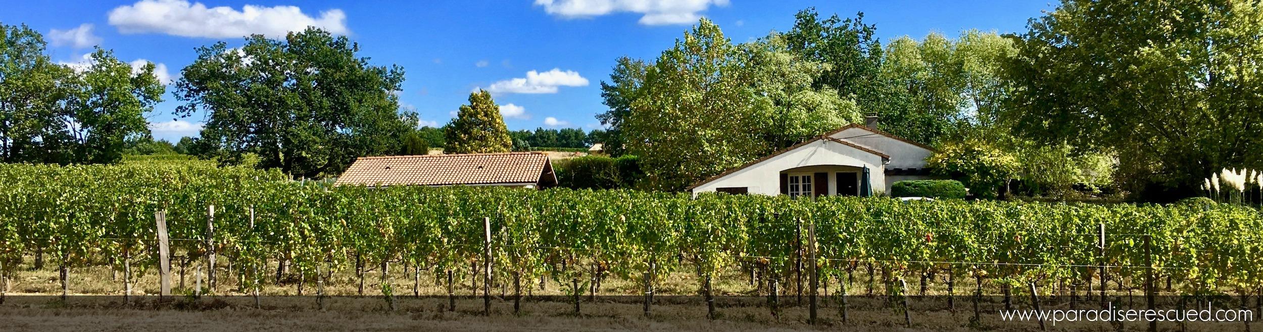 Paradise Rescued across the new Bordeaux Merlot vineyard